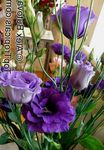 Photo Texas Bluebell, Lisianthus, Tulip Gentian, dark blue herbaceous plant