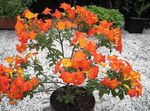 Marmalade Bush, Orange Browallia, Firebush