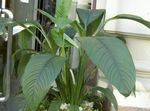 Photo Peace lily, white herbaceous plant