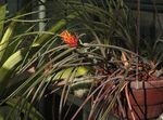 Photo Pinecone Bromeliad, orange herbaceous plant