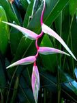 Photo Lobster Claw, , pink herbaceous plant