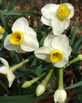 Photo Daffodils, Daffy Down Dilly, white herbaceous plant