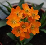 Photo Drooping Star of Bethlehem, orange herbaceous plant