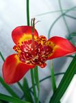 Tigridia, Mexican Shell-flower
