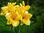 Photo Peruvian Lily, yellow herbaceous plant