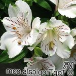 Photo Peruvian Lily, white herbaceous plant
