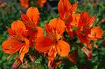 Photo Peruvian Lily, orange herbaceous plant