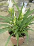 Photo Curcuma, white herbaceous plant