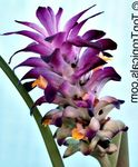 Photo Curcuma, purple herbaceous plant