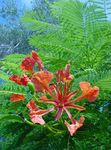 Photo Royal Poinciana, Flamboyant Tree, red