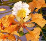 Photo Royal Poinciana, Flamboyant Tree, orange