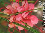 Photo Grevillea, red shrub