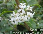 Photo Delavay Osmanthus, Delavay Tea Olive, white shrub