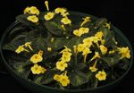Photo Episcia, yellow herbaceous plant