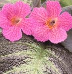 Photo Episcia, pink herbaceous plant