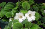 Photo Episcia, white herbaceous plant