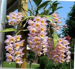 Photo Dendrobium Orchid, pink herbaceous plant