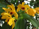 Photo Dendrobium Orchid, yellow herbaceous plant