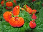 Photo Slipper flower, orange herbaceous plant