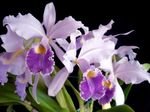 Photo Cattleya Orchid, lilac herbaceous plant
