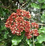 Red Leea, West Indian Holly, Hawaiian Holly