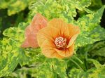 Photo Flowering Maple, Weeping Maple, Chinese Lantern, orange tree