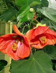 Photo Flowering Maple, Weeping Maple, Chinese Lantern, red tree
