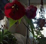 Photo Flowering Maple, Weeping Maple, Chinese Lantern, claret tree