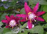 Photo Passion flower, claret liana
