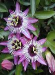 Photo Passion flower, lilac liana