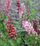 Photo Bloodberry, Rouge Plant, Baby Pepper, Pigeonberry, Coralito, pink shrub