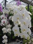 Photo Phalaenopsis, white herbaceous plant