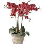 Photo Phalaenopsis, red herbaceous plant