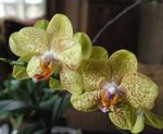 Photo Phalaenopsis, yellow herbaceous plant