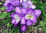 Photo Freesia, lilac herbaceous plant