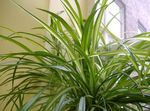 Photo Spider Plant, green