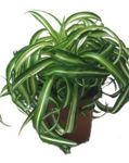 Photo Spider Plant, motley