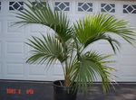 Photo Curly Palm, Kentia Palm, Paradise Palm, green tree