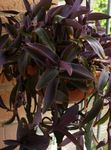 Purple Heart Wandering Jew