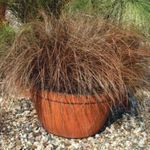 Photo Carex, Sedge, brown