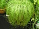 Photo Carex, Sedge, light green