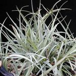 Photo Carex, Sedge, silvery