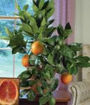 Photo Sweet Orange, green tree