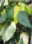 Photo Fire Dragon Acalypha, Hoja de Cobre, Copper Leaf, motley shrub
