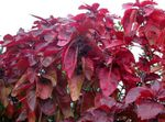 Photo Fire Dragon Acalypha, Hoja de Cobre, Copper Leaf, red shrub