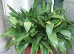 Photo Aspidistra, Bar Room Plant, Cast Iron Plant, green
