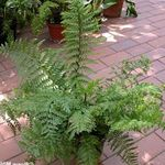 Photo Spleenwort, green