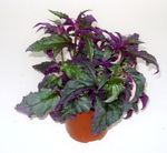 Purple Velvet Plant, Royal Velvet Plant