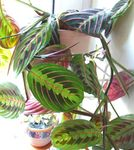 Photo Prayer Plant, motley