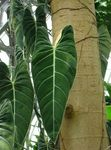 Philodendron liana